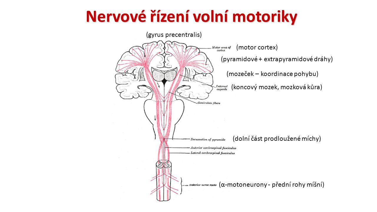 Nervové řízení volní motoriky