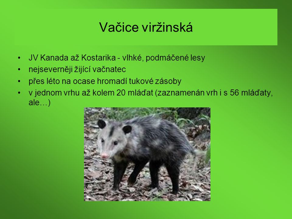 Vačice viržinská JV Kanada až Kostarika - vlhké, podmáčené lesy