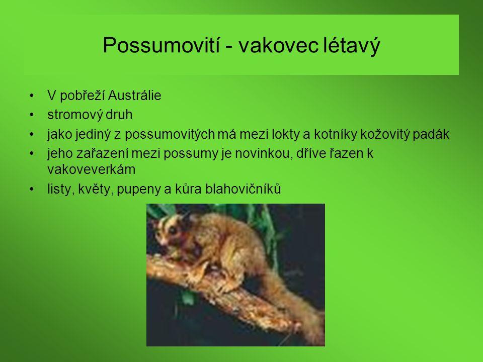 Possumovití - vakovec létavý