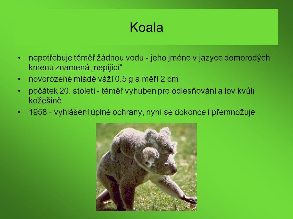 """Koala nepotřebuje téměř žádnou vodu - jeho jméno v jazyce domorodých kmenů znamená """"nepijící novorozené mládě váží 0,5 g a měří 2 cm."""