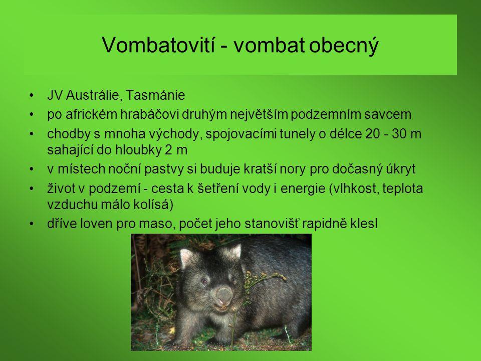 Vombatovití - vombat obecný