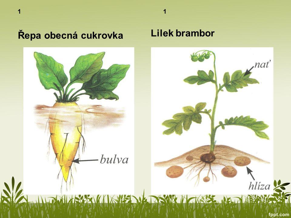 1 1 Lilek brambor Řepa obecná cukrovka