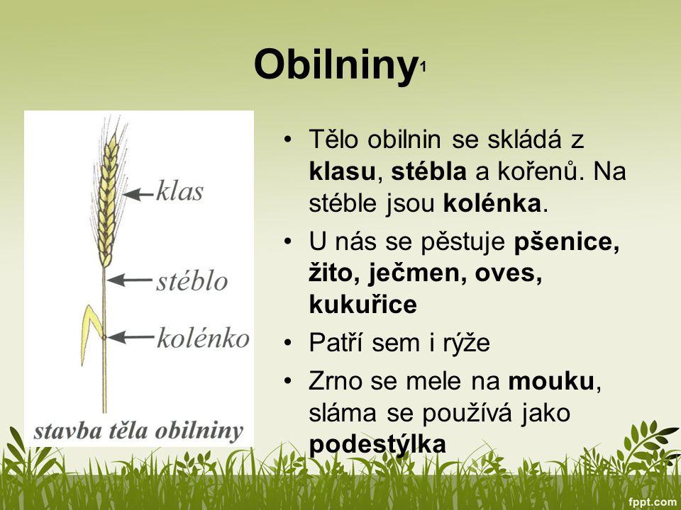 Obilniny1 Tělo obilnin se skládá z klasu, stébla a kořenů. Na stéble jsou kolénka. U nás se pěstuje pšenice, žito, ječmen, oves, kukuřice.