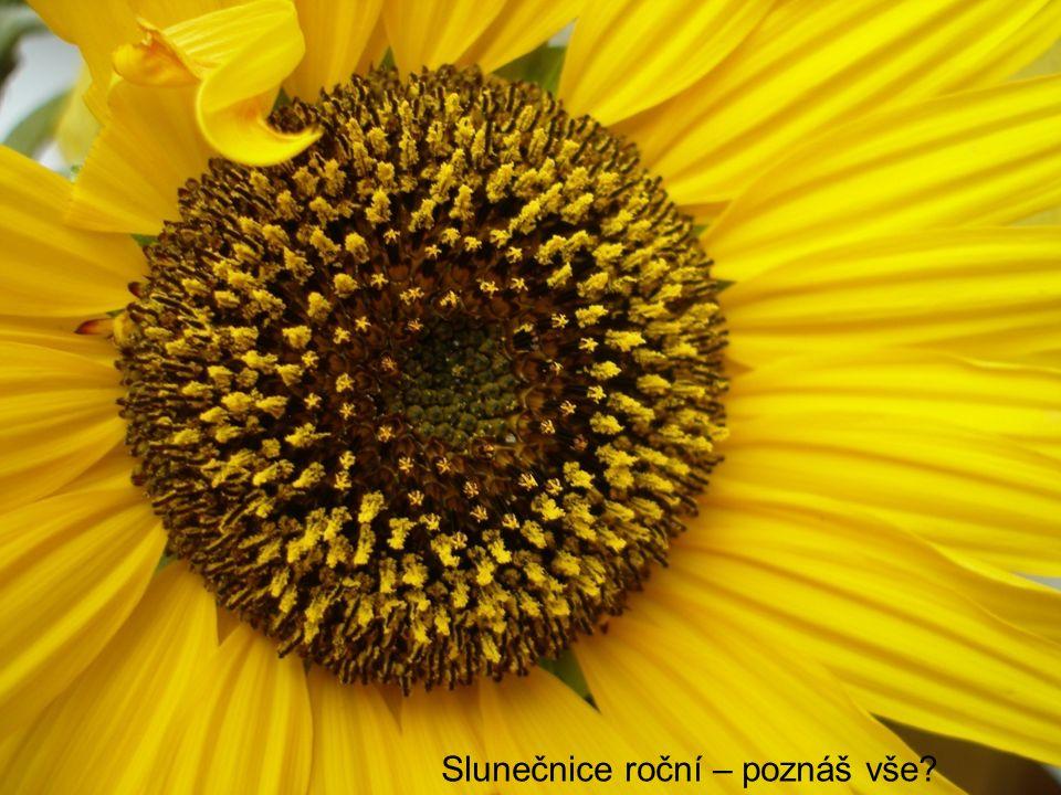 Slunečnice roční – poznáš vše