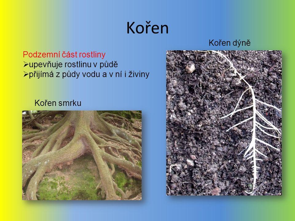 Kořen Kořen dýně Podzemní část rostliny upevňuje rostlinu v půdě