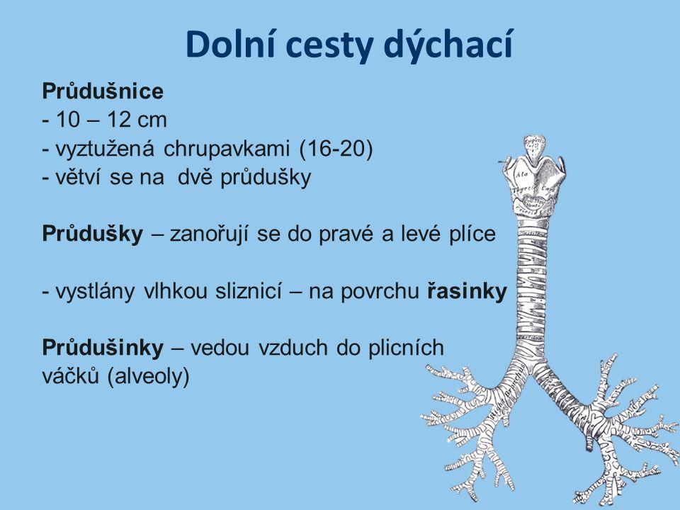 Dolní cesty dýchací Průdušnice - 10 – 12 cm