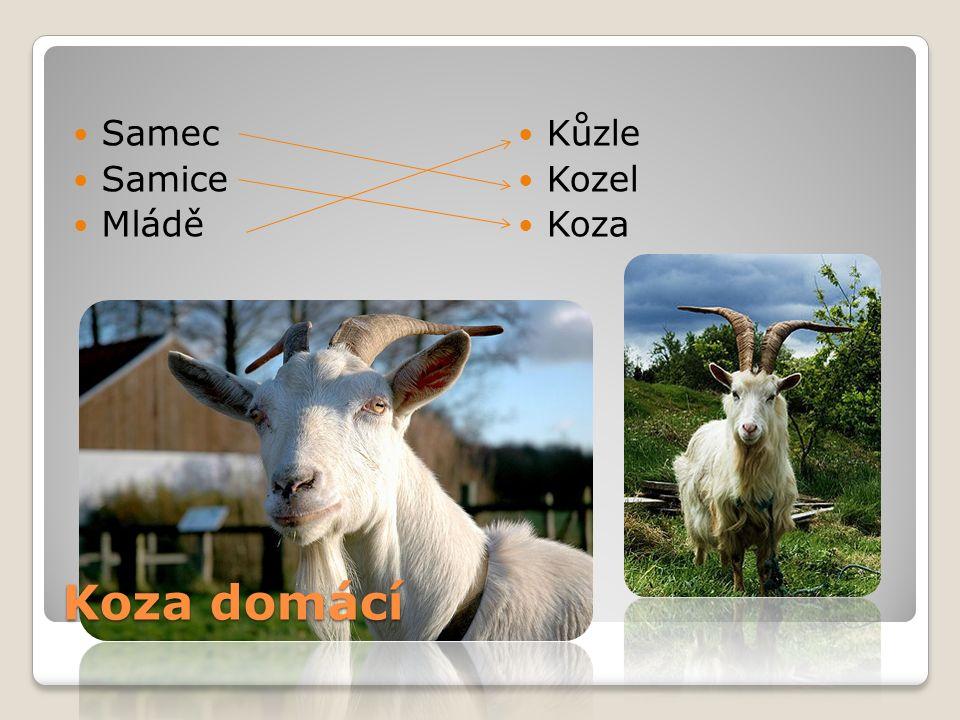Samec Samice Mládě Kůzle Kozel Koza Koza domácí