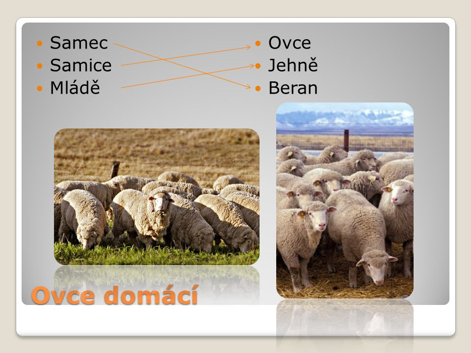 Samec Samice Mládě Ovce Jehně Beran Ovce domácí