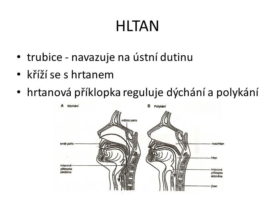 HLTAN trubice - navazuje na ústní dutinu kříží se s hrtanem