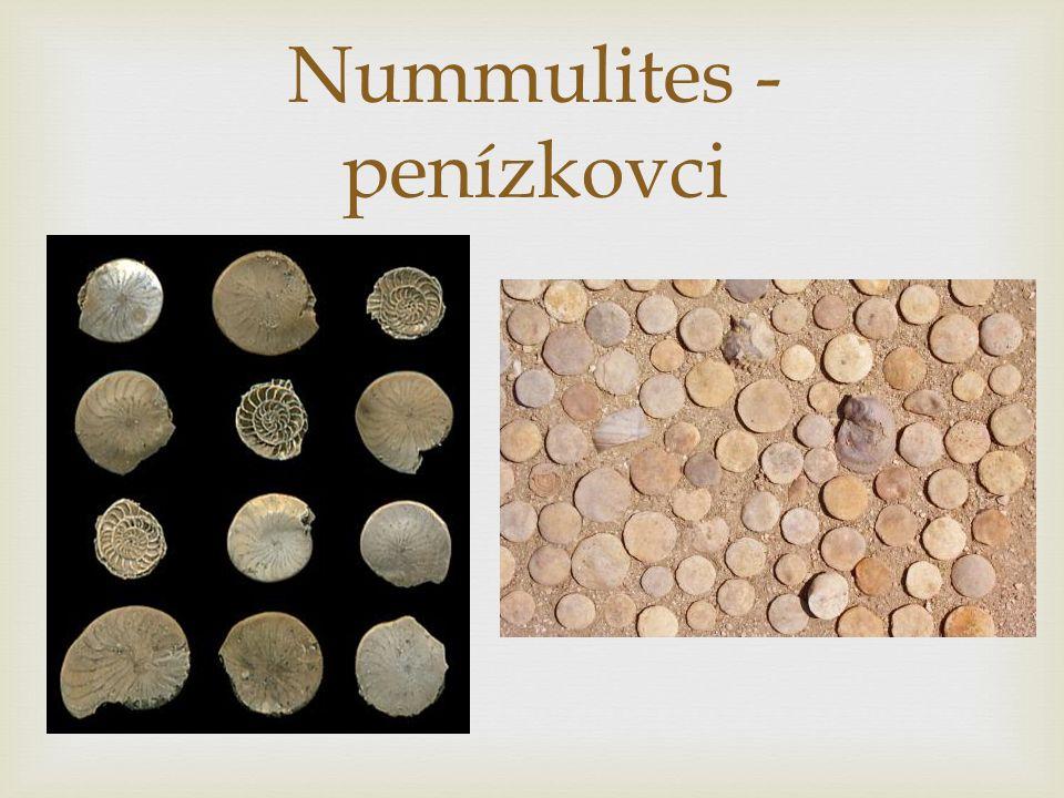 Nummulites - penízkovci