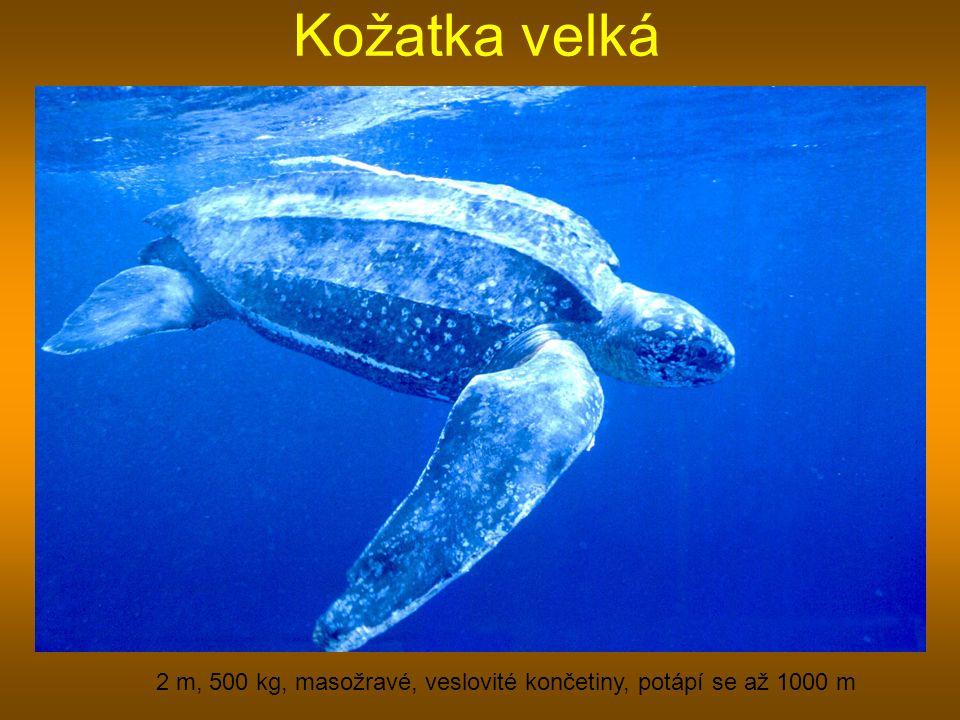 2 m, 500 kg, masožravé, veslovité končetiny, potápí se až 1000 m