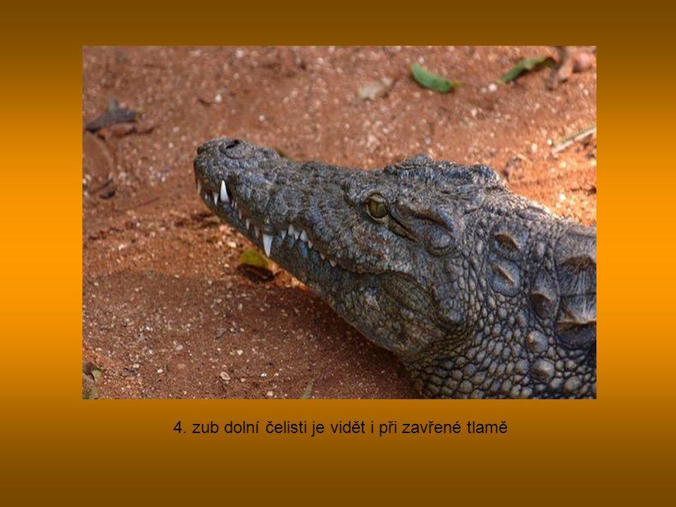 4. zub dolní čelisti je vidět i při zavřené tlamě