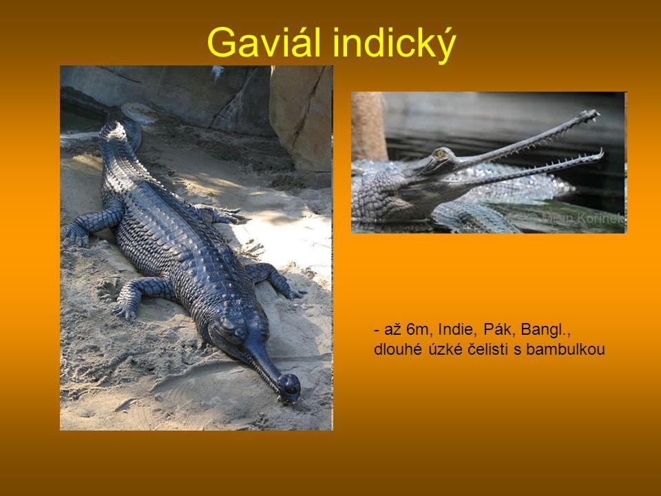 Gaviál indický - až 6m, Indie, Pák, Bangl., dlouhé úzké čelisti s bambulkou