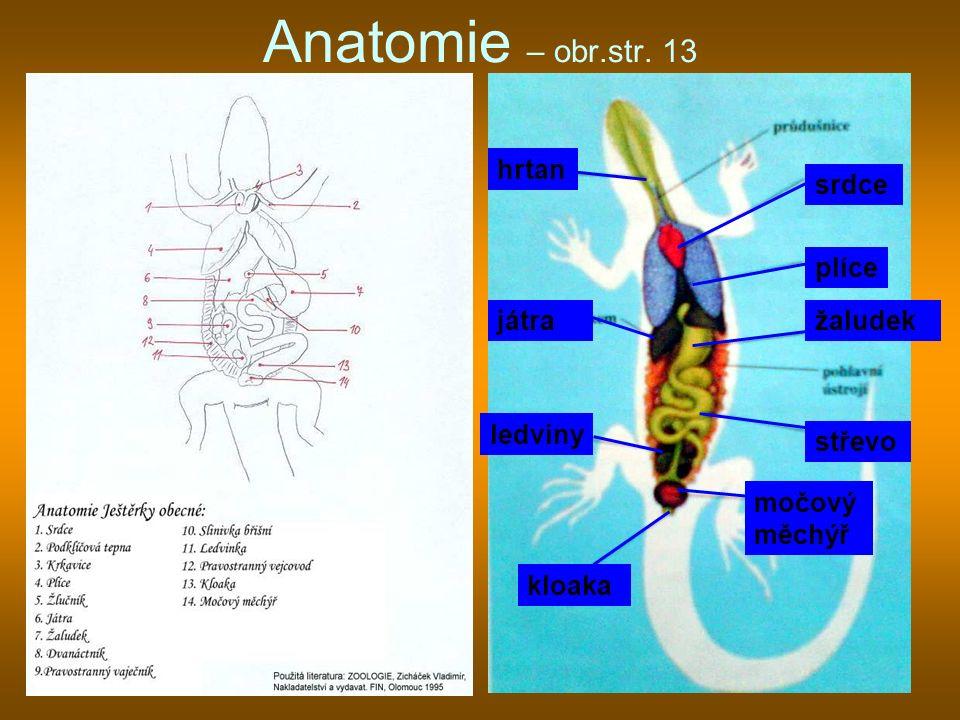 Anatomie – obr.str. 13 hrtan srdce plíce játra žaludek ledviny střevo