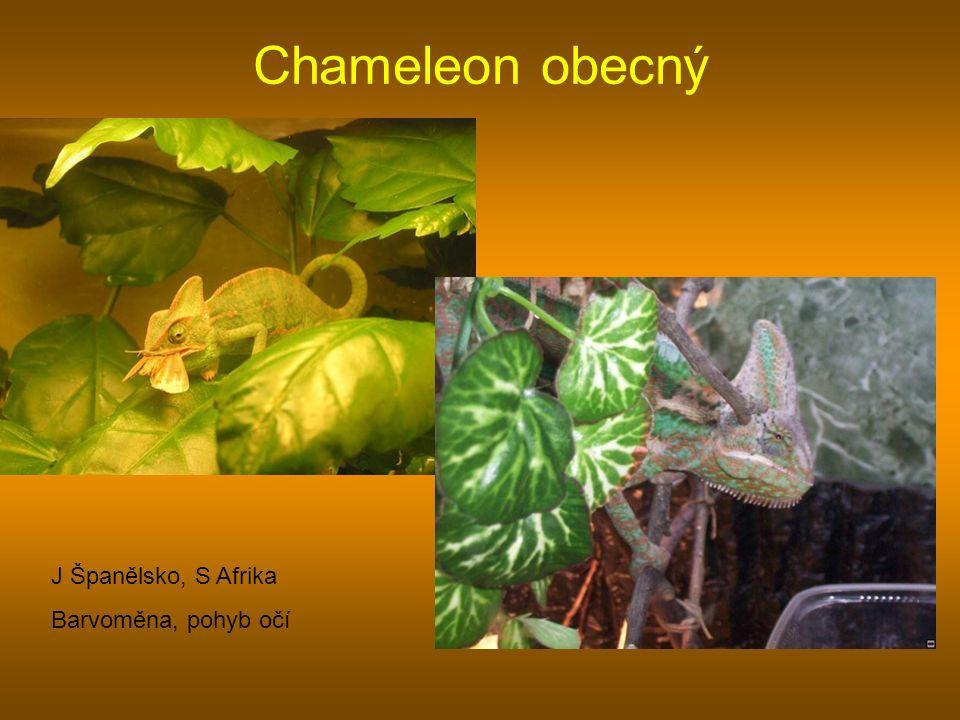 Chameleon obecný J Španělsko, S Afrika Barvoměna, pohyb očí