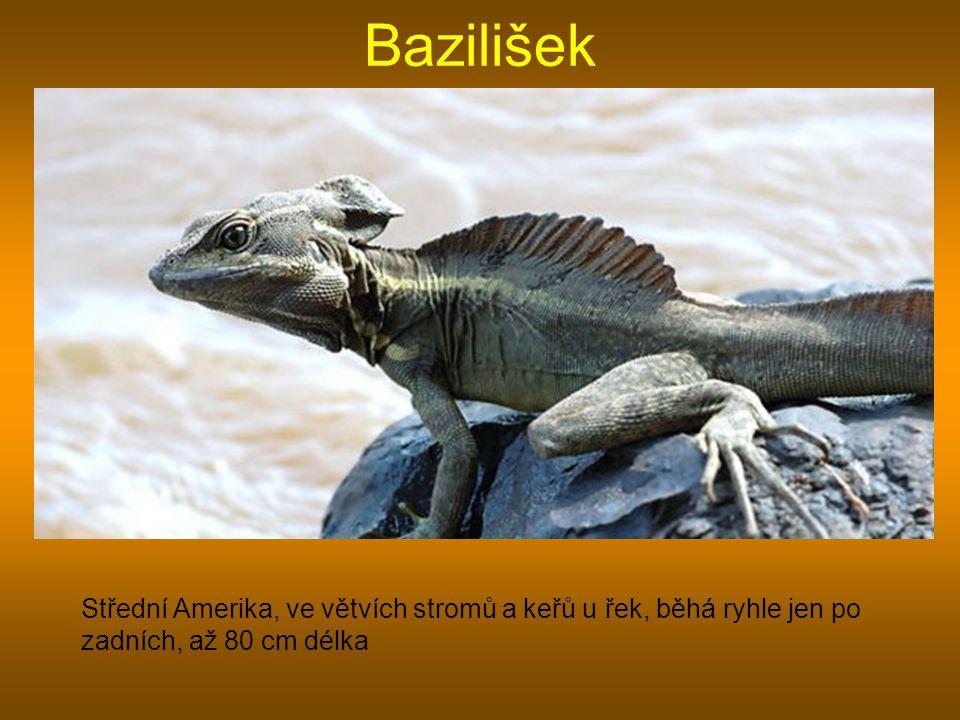 Bazilišek Střední Amerika, ve větvích stromů a keřů u řek, běhá ryhle jen po zadních, až 80 cm délka.