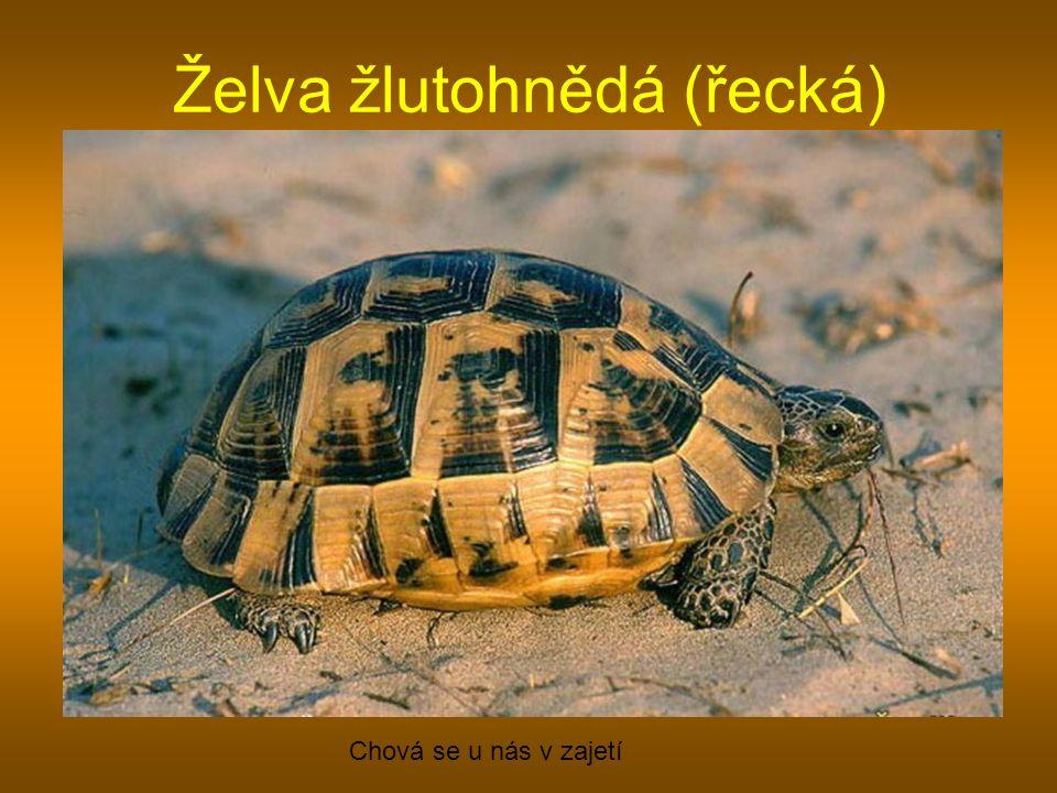 Želva žlutohnědá (řecká)