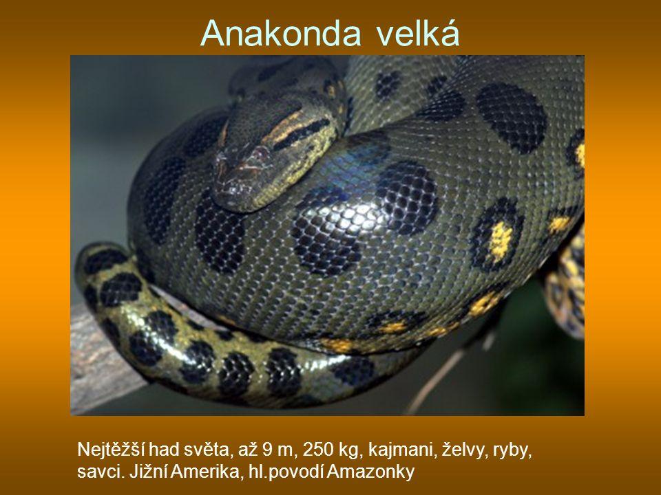 Anakonda velká Nejtěžší had světa, až 9 m, 250 kg, kajmani, želvy, ryby, savci.
