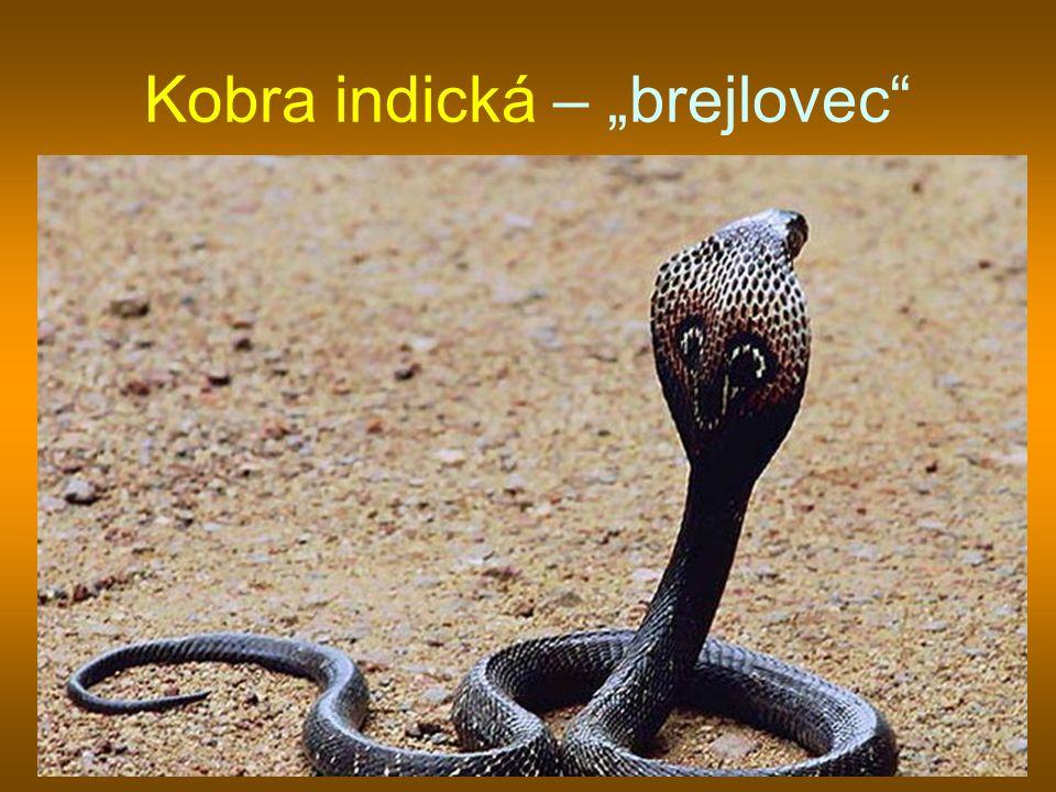 "Kobra indická – ""brejlovec"