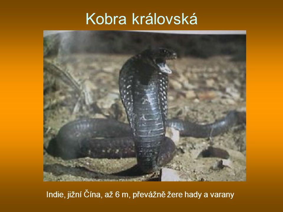 Kobra královská Indie, jižní Čína, až 6 m, převážně žere hady a varany