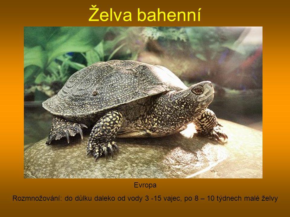 Želva bahenní Evropa.