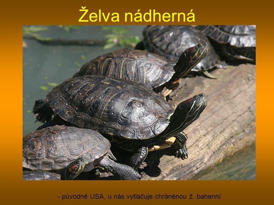Želva nádherná - původně USA, u nás vytlačuje chráněnou ž. bahenní