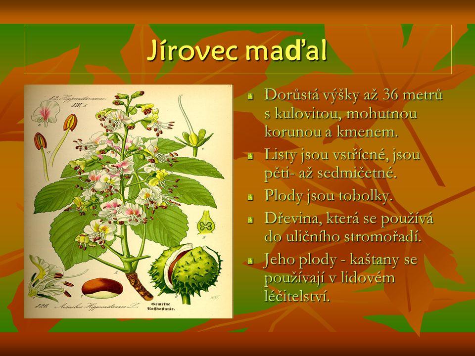Jírovec maďal Dorůstá výšky až 36 metrů s kulovitou, mohutnou korunou a kmenem. Listy jsou vstřícné, jsou pěti- až sedmičetné.