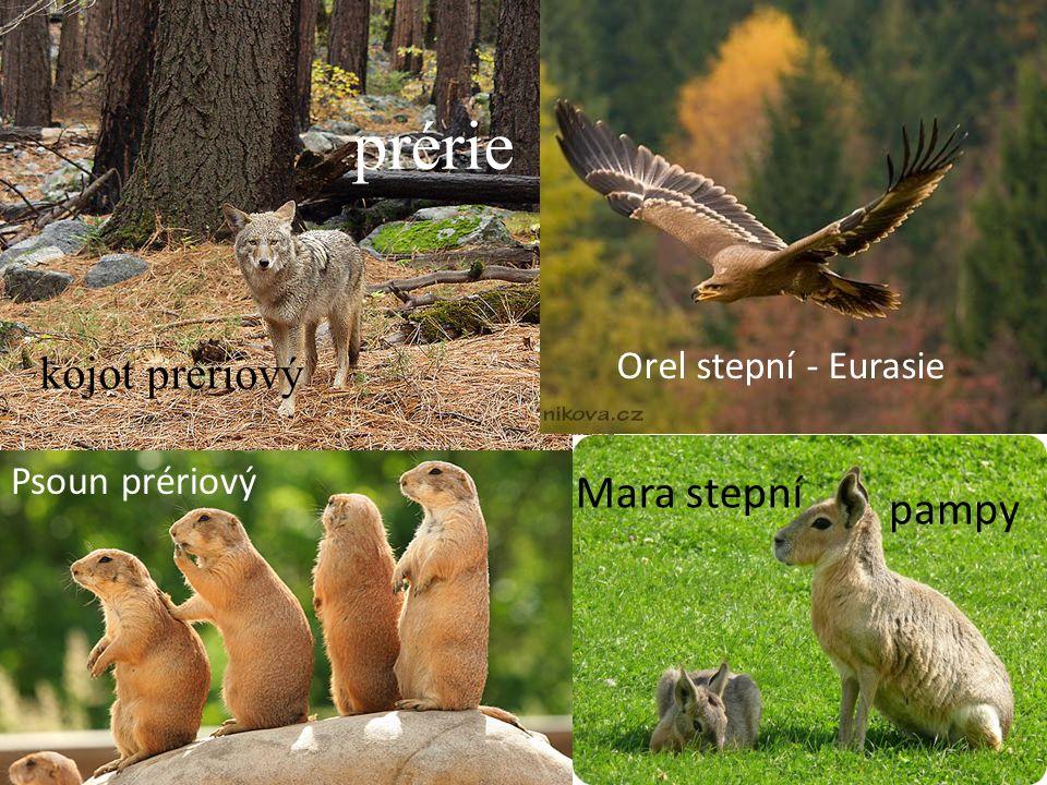 prérie kojot prériový Mara stepní pampy Orel stepní - Eurasie
