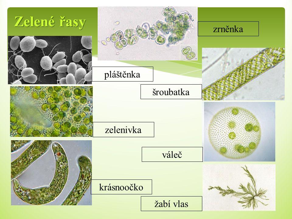 Zelené řasy zrněnka pláštěnka šroubatka zelenivka váleč krásnoočko