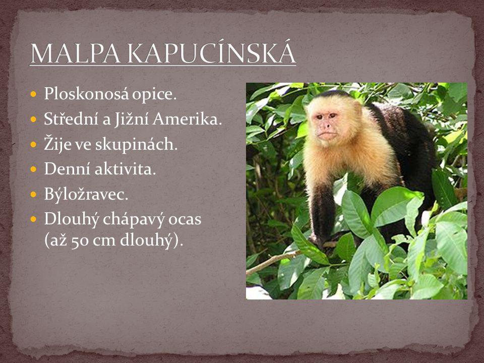 MALPA KAPUCÍNSKÁ Ploskonosá opice. Střední a Jižní Amerika.