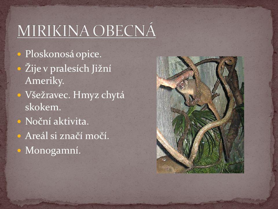 MIRIKINA OBECNÁ Ploskonosá opice. Žije v pralesích Jižní Ameriky.