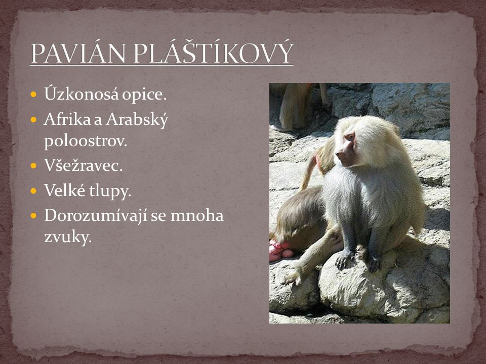 PAVIÁN PLÁŠTÍKOVÝ Úzkonosá opice. Afrika a Arabský poloostrov.