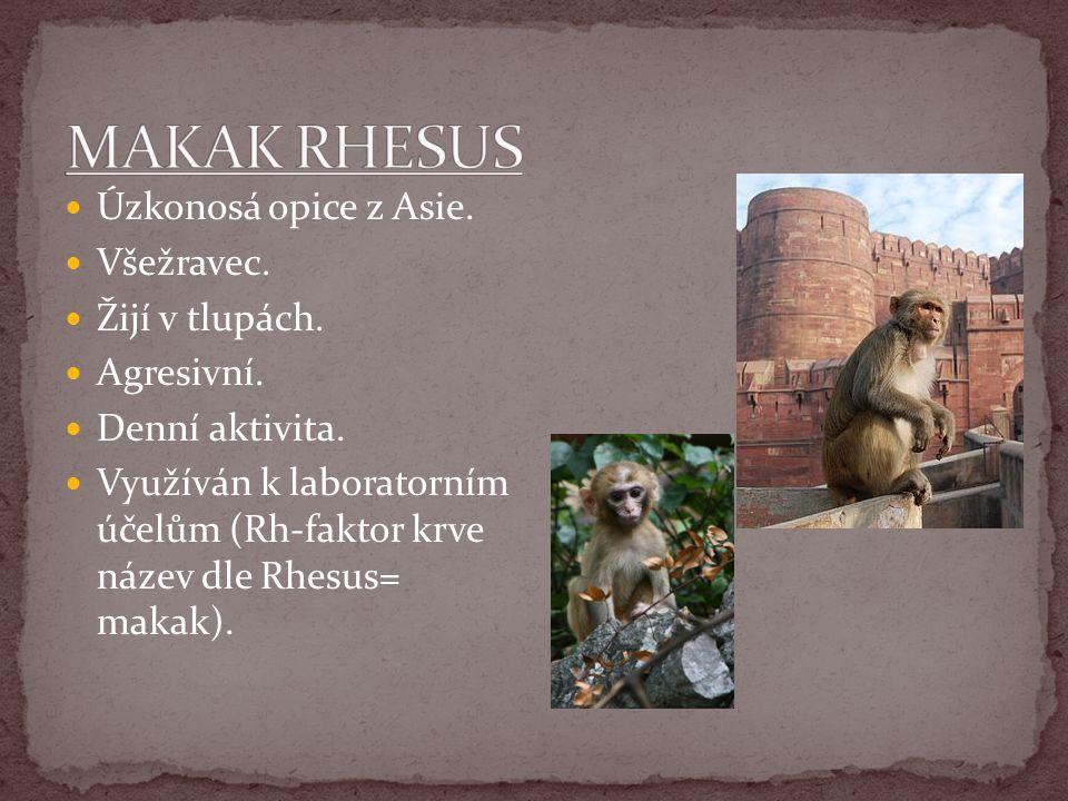 MAKAK RHESUS Úzkonosá opice z Asie. Všežravec. Žijí v tlupách.