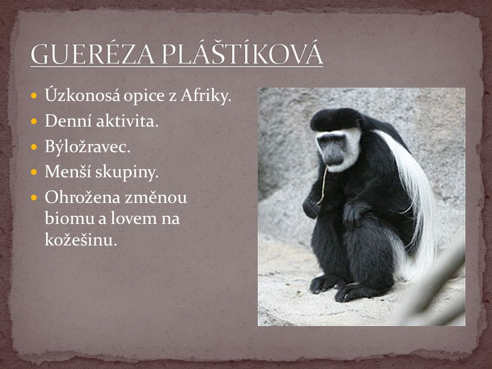 GUERÉZA PLÁŠTÍKOVÁ Úzkonosá opice z Afriky. Denní aktivita.