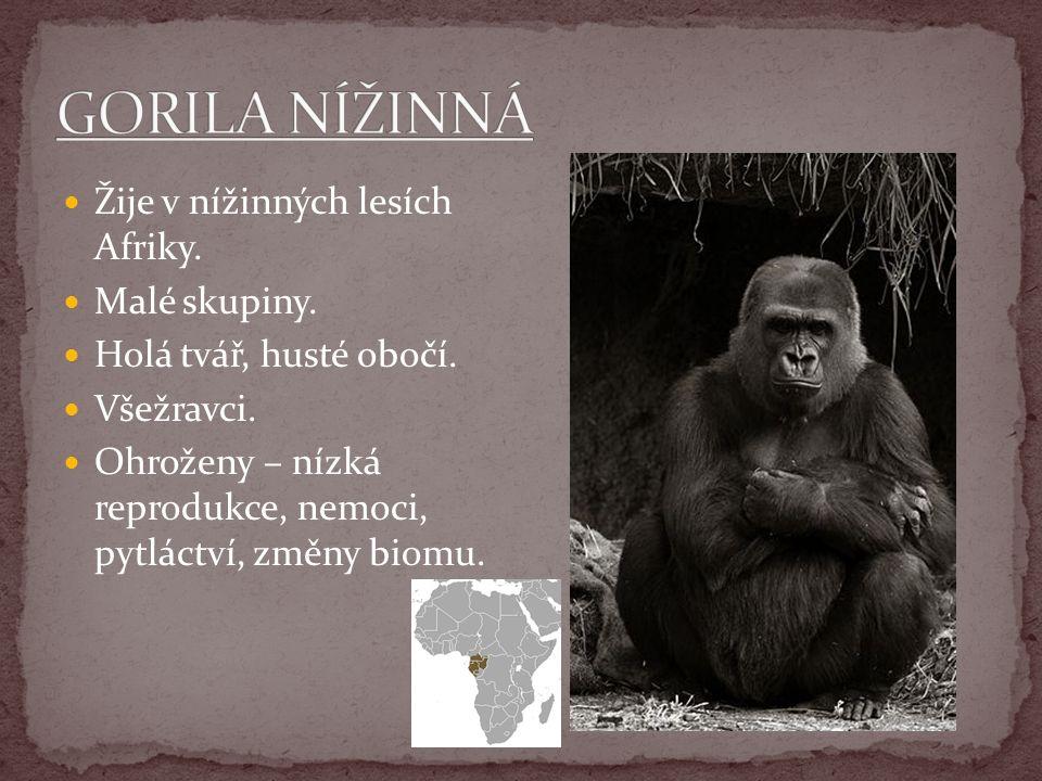 GORILA NÍŽINNÁ Žije v nížinných lesích Afriky. Malé skupiny.