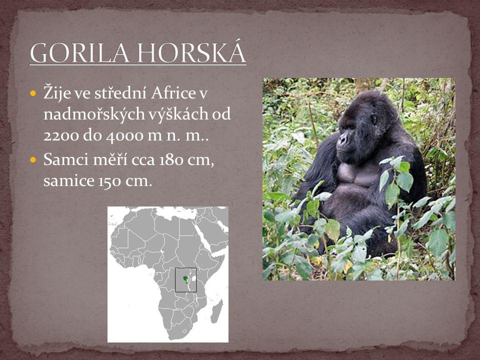 GORILA HORSKÁ Žije ve střední Africe v nadmořských výškách od 2200 do 4000 m n.