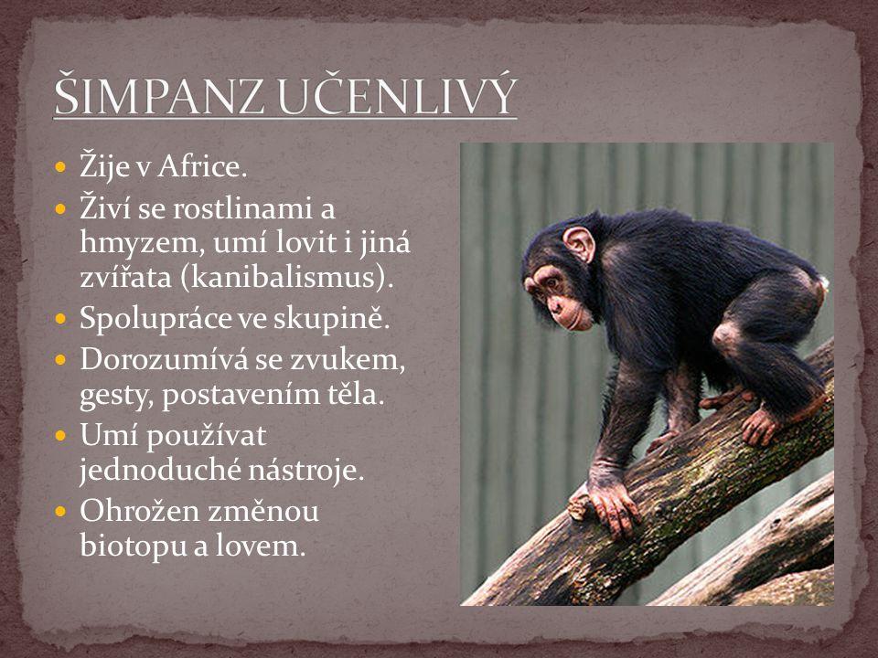 ŠIMPANZ UČENLIVÝ Žije v Africe.