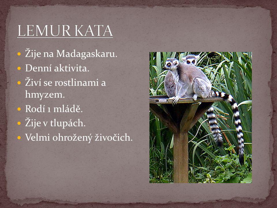 LEMUR KATA Žije na Madagaskaru. Denní aktivita.