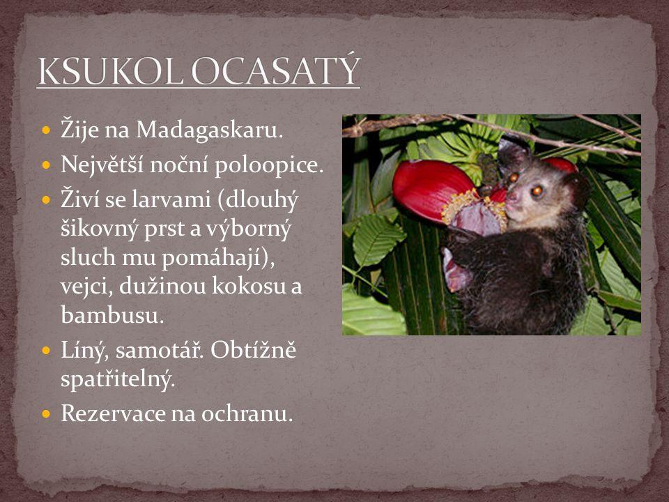 KSUKOL OCASATÝ Žije na Madagaskaru. Největší noční poloopice.