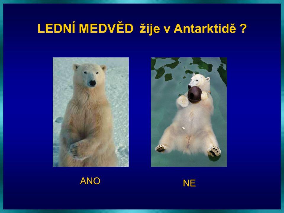 LEDNÍ MEDVĚD žije v Antarktidě