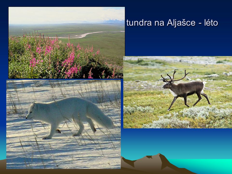 tundra na Aljašce - léto