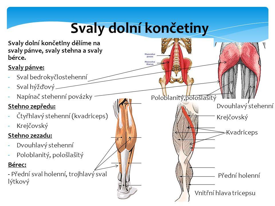 Svaly dolní končetiny Svaly dolní končetiny dělíme na svaly pánve, svaly stehna a svaly bérce. Svaly pánve: