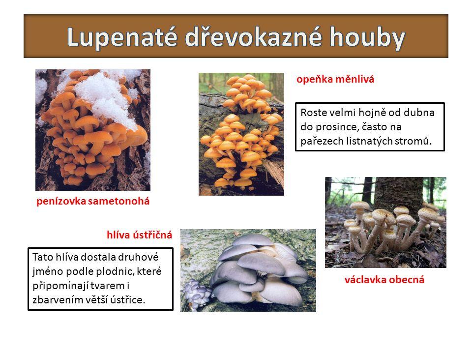 Lupenaté dřevokazné houby