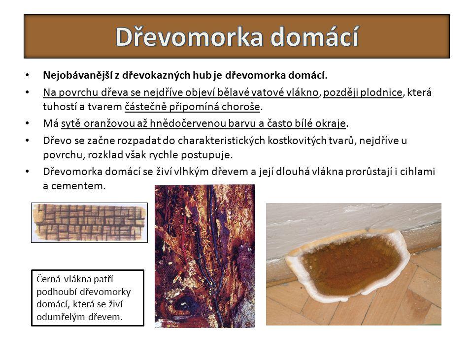 Dřevomorka domácí Nejobávanější z dřevokazných hub je dřevomorka domácí.