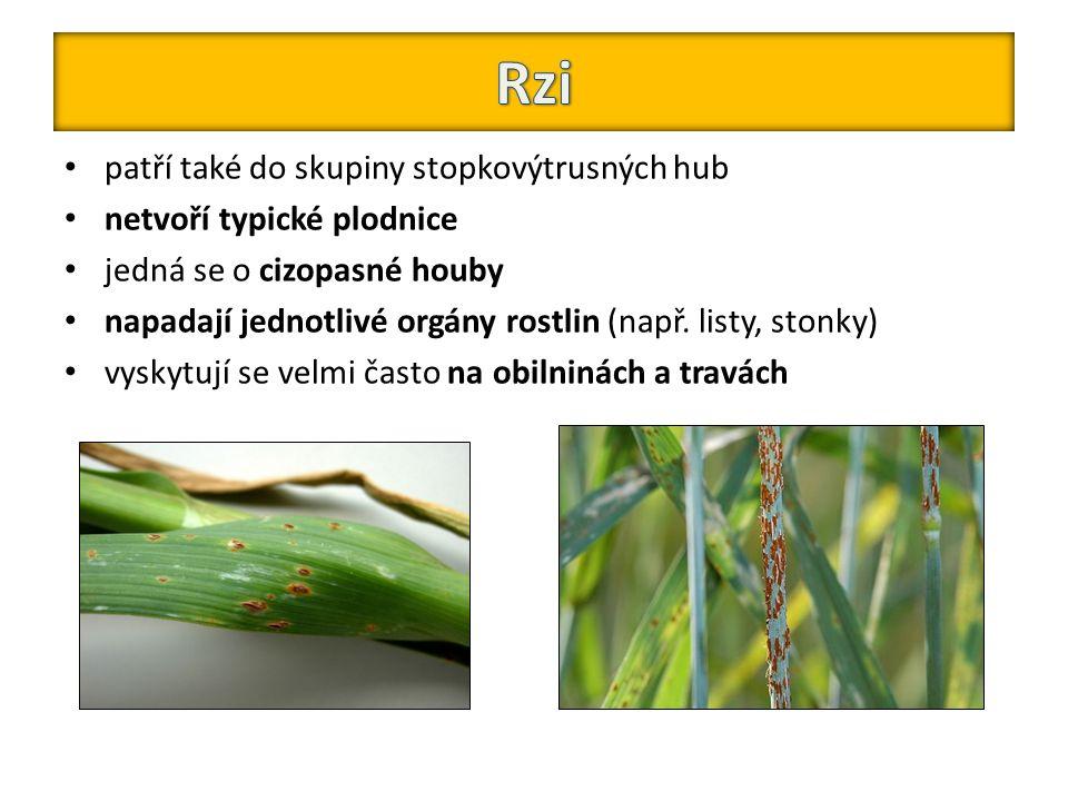 Rzi patří také do skupiny stopkovýtrusných hub