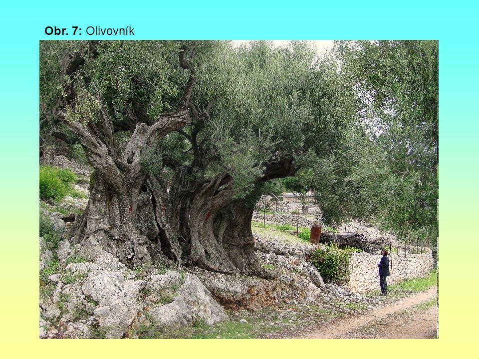 Obr. 7: Olivovník