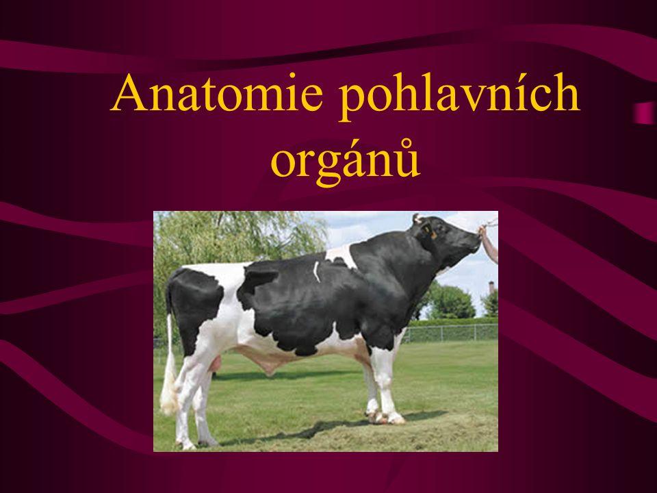 Anatomie pohlavních orgánů