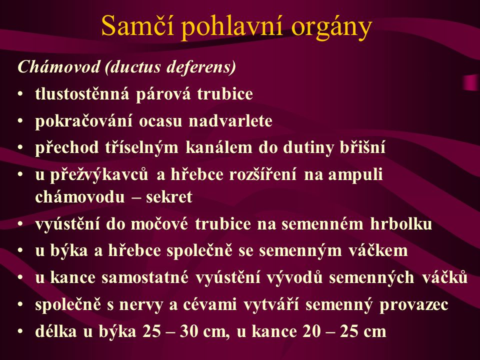 Samčí pohlavní orgány Chámovod (ductus deferens)