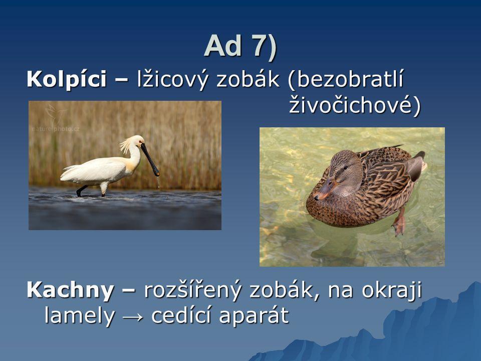 Ad 7) Kolpíci – lžicový zobák (bezobratlí živočichové)