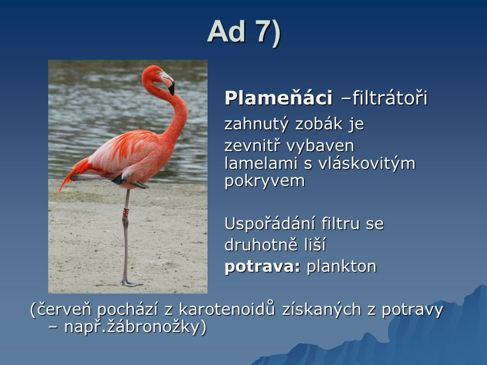 Ad 7) Plameňáci –filtrátoři zahnutý zobák je
